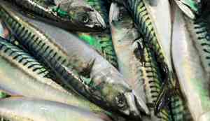 Many mackerel